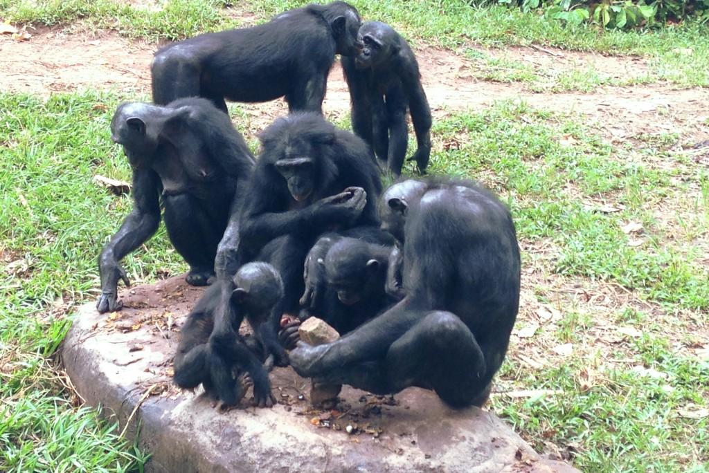 Бонобо за работой.