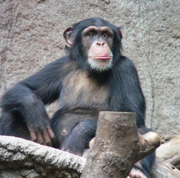 Шимпанзе ибонобо скрещивались вдревности