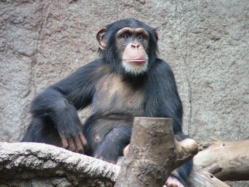 А это шимпанзе. Тоже близкий родственник человека