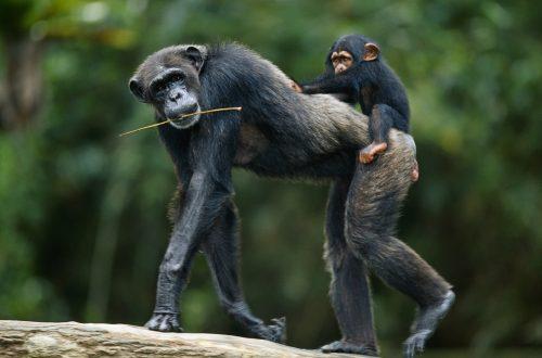 Мама-шимпанзе сдетёнышем ипалочкой для ловли термитов.