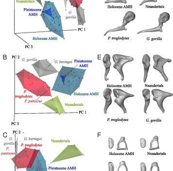 Неандертальский молоточек длиннее