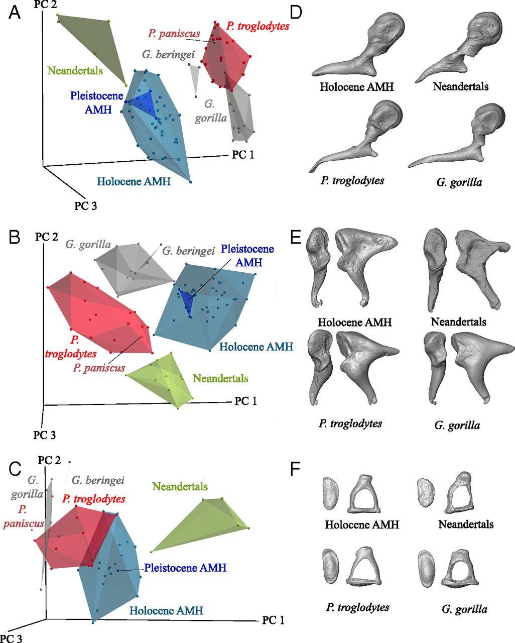 Косточки среднего уха неандертальцев (Neandertals) всравнении ссовременным человеком (Holocene AMH), шимпанзе (<i>P. troglodytes</i>) игориллой (<i>G. gorilla</i>). Вверху: A,D— молоточек. B,E— наковальня. С, F— стремечко. Иллюстрация из обсуждаемой статьи.