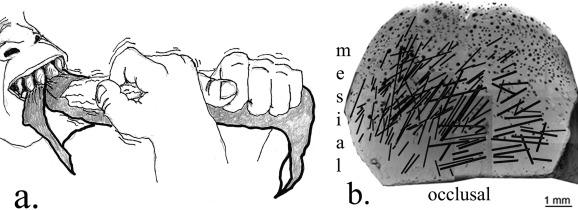 а) Вот так древний человек царапал передние зубы, b) Распределение царапин налевом первом резце OH 65