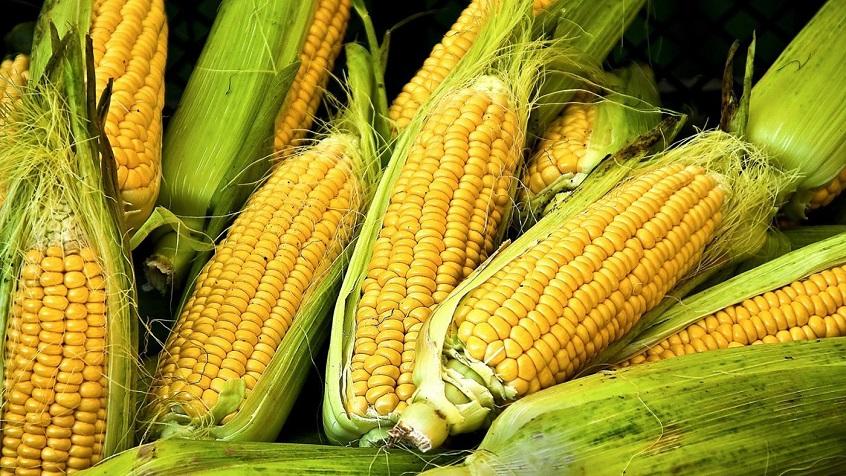Генно-модифицированная кукуруза вроде нестала сильно хуже