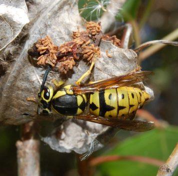 Инвазивные осы наГавайях— источник заразы