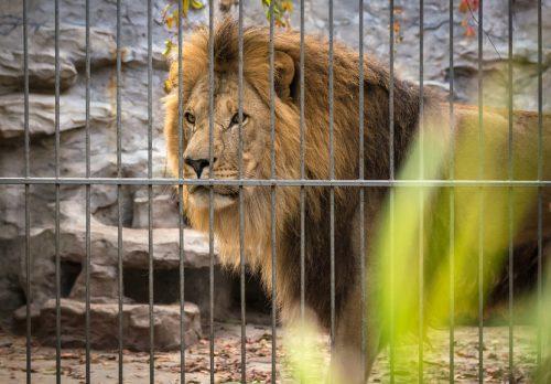 Лев взоопарке