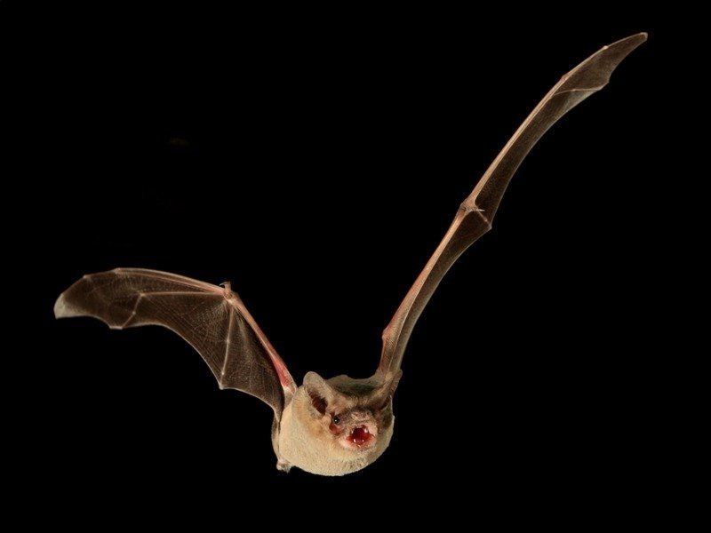 Удивительная мышь <i>Tadarida brasiliensis</i>.