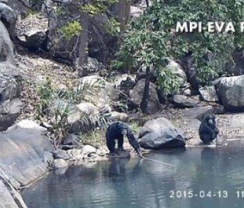 Шимпанзе добывают водоросли спомощью простейших удочек