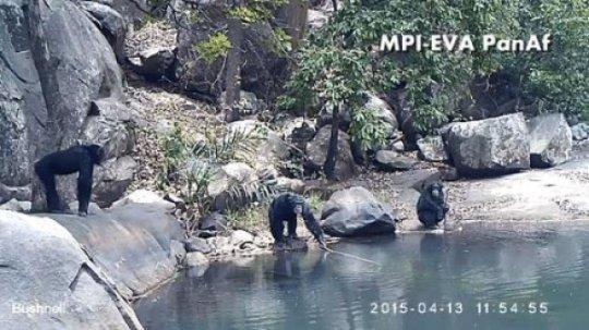 Кадр скамеры-ловушки, накотором видно, как шимпанзе добывают водоросли