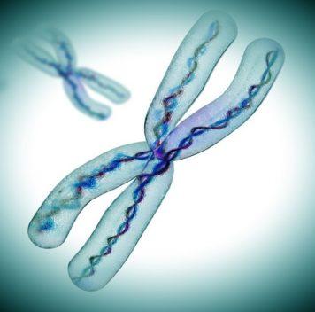 Только половина объёма хромосомы— ДНК