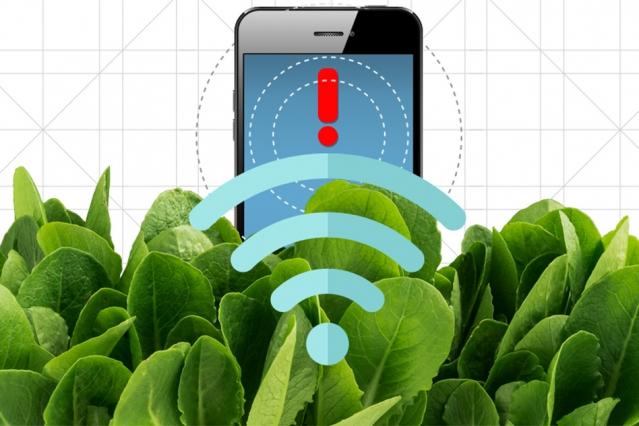 Зарегистрировать сигнал «умного» шпината можно спомощью камеры, подключённой ккарманному компьютеру или обыкновенного смартфона, из которого удалили ИК-фильтр. Иллюстрация: Кристина Данилофф, МТИ.