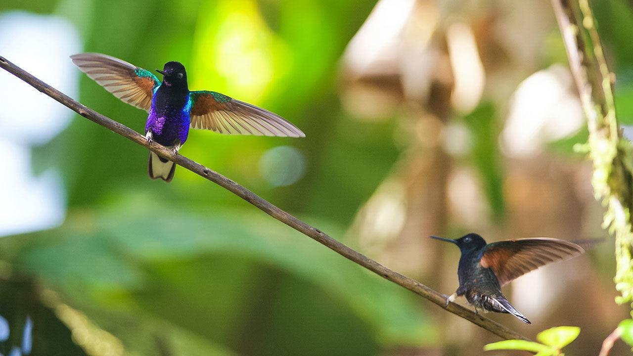 """Пурпурный венценосный колибри (Boissonneaua jardini) сейчас классифицируется как """"вид, находящийся под наименьшей угрозой"""".<br />"""