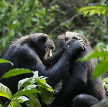 Бонобо тоже страдают от дальнозоркости