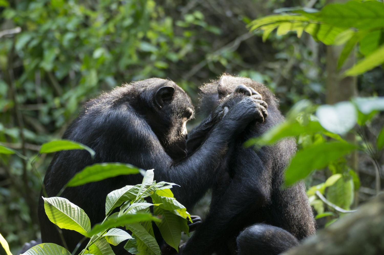 Самки бонобо во время груминга. Расстояние между глазами ипальцами («дистанция груминга») Фуку (17 лет) составляет всего 5—10 сантиметров. Старому Тену для того, чтобы сфокусировать взгляд, нужно гораздо больше.