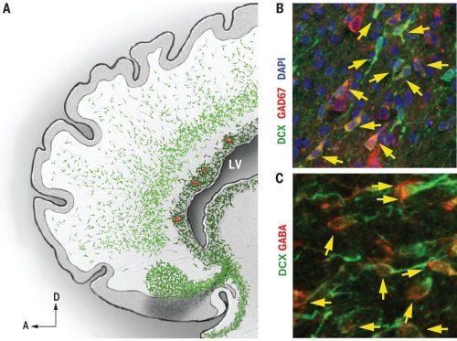 Мигрирующие нервные клетки