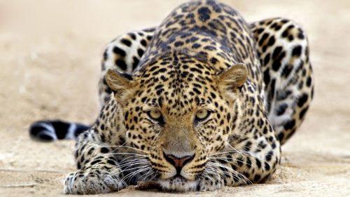 Дальневосточный леопард— самая редкая крупная кошка напланете.