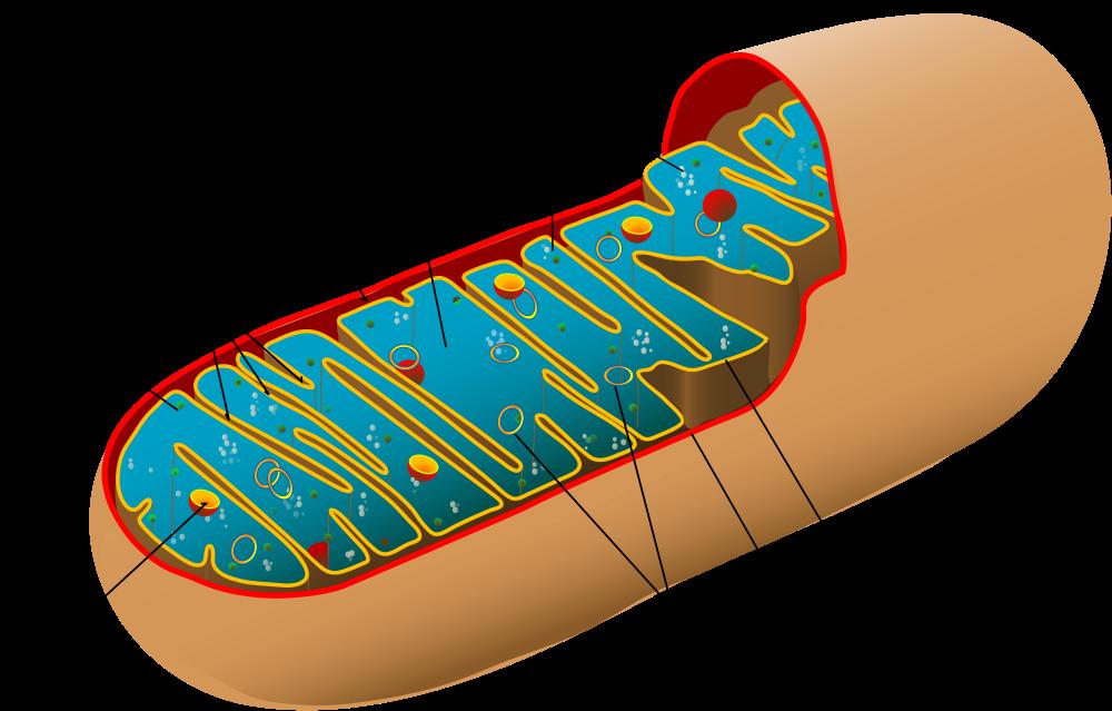 """Митохондрия. Учёные считают, что эти симпатичные энергогенераторы играют важную роль внарушении работы памяти при курении марихуаны. Источник: <a rel=""""nofollow"""" href=""""https://upload.wikimedia.org/wikipedia/commons/thumb/5/56/Animal_mitochondrion_diagram_ru.svg/1000px-Animal_mitochondrion_diagram_ru.svg.png""""><i>Wikimedia</i></a>."""