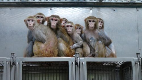 Эти грустные макаки ждут, когда же, наконец, люди найдут лекарство от ВИЧ иот вируса иммунодефицита обезьян.