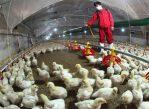Китайские фермеры, занимающиеся птицеводством, в последние недели пытаются защититься от инфекции при помощи вакцин и витаминов.