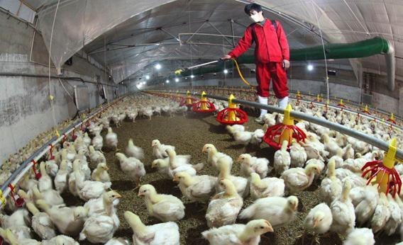 Китайские фермеры, занимающиеся птицеводством, впоследние недели пытаются защититься от инфекции при помощи вакцин ивитаминов.