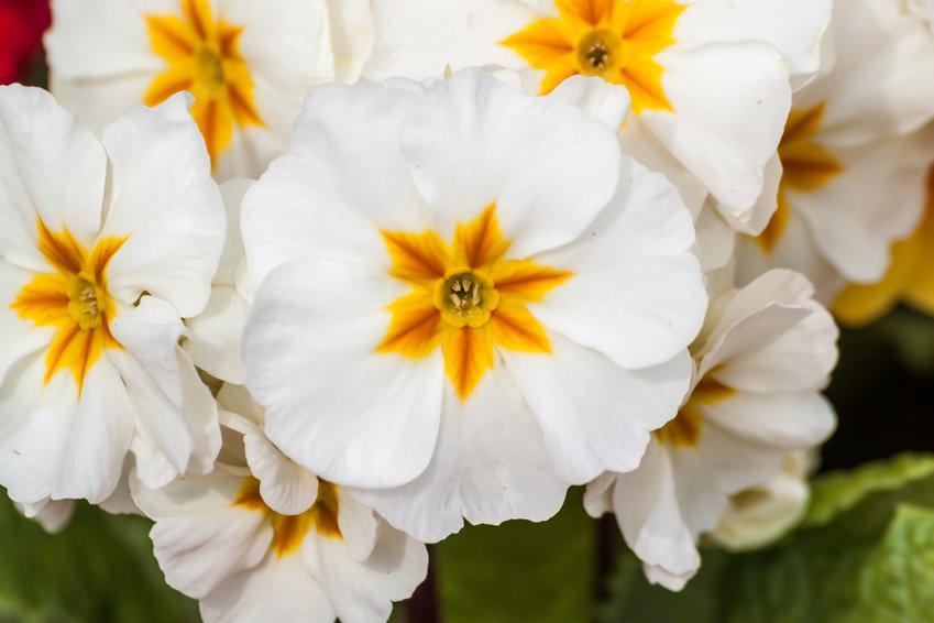 Цветок примулы