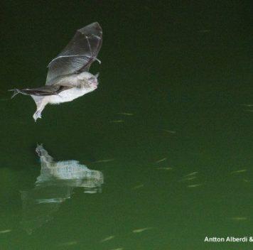Насекомоядные летучие мыши готовы перейти нарыбную диету