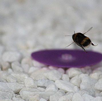 Шмели-самцы покидают родной дом без оглядки