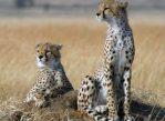 Когда-то гепарды были широко распространены и на просторах Евразии