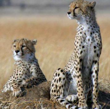 Гепарды стремительно вымирают