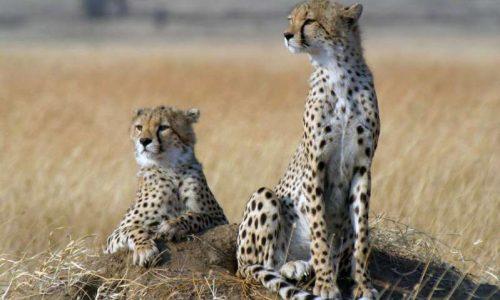 Когда-то гепарды были широко распространены ина просторах Евразии