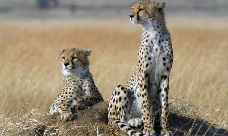 Когда-то гепарды были широко распространены ина просторах Евразии.