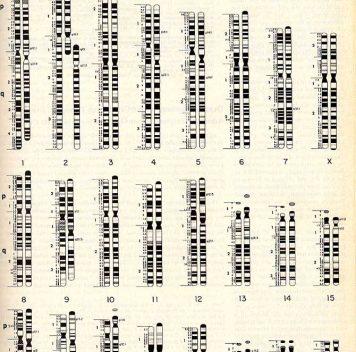 Сколько увас хромосом? История одной мутации