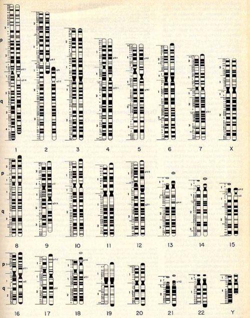Сравнение хромосом человека ишимпанзе. Видно, что 2-я хромосома человека соответствует 2-м хромосомам шимпанзе. Источник: Jorge Yunis, DIAGRAM OF HUMAN AND CHIMP CHROMOSOME, Science 208:1145-58 (1980). Courtesy of Science magazine.