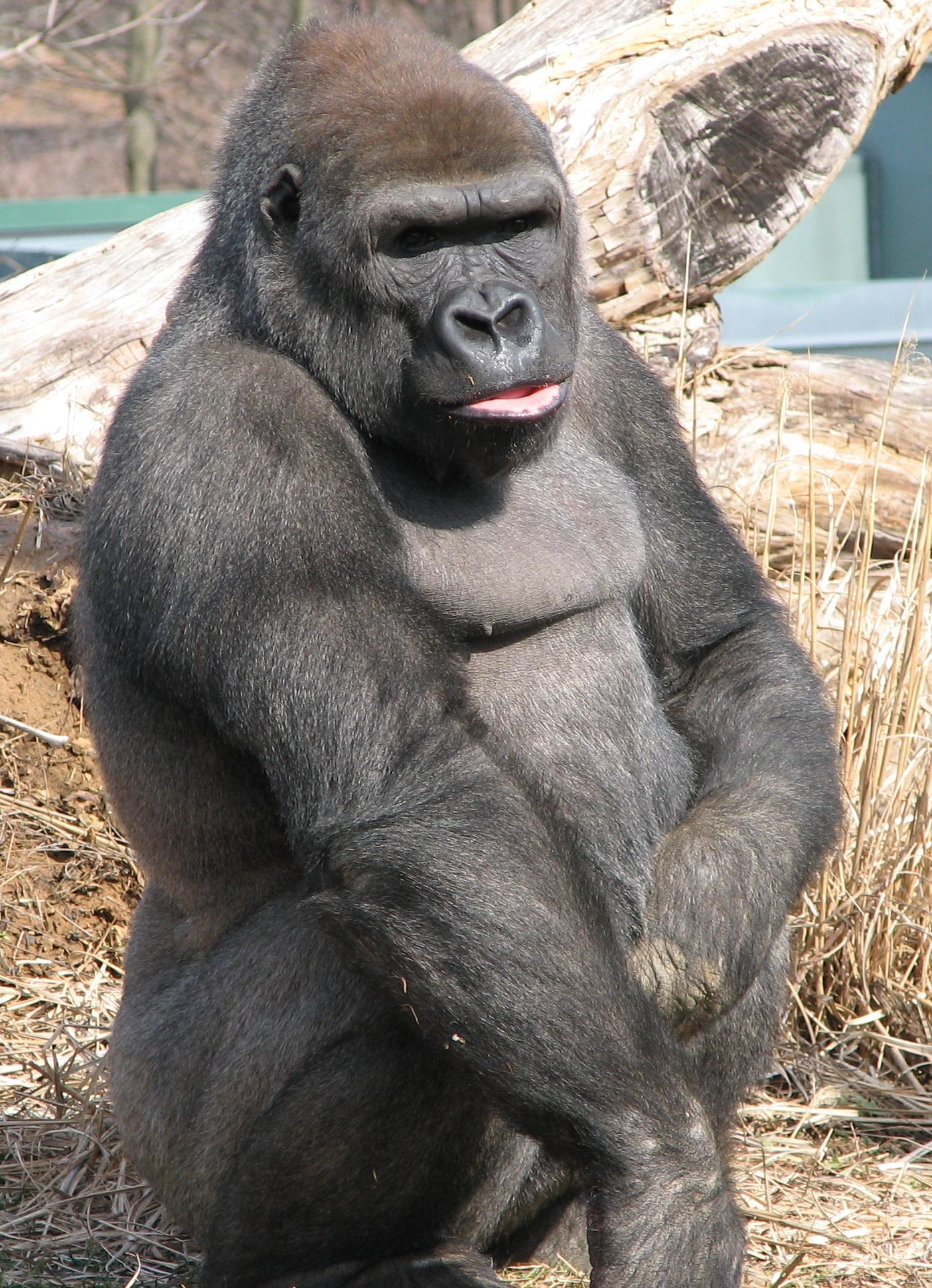 Западная горилла находится в«серой зоне» видообразования.