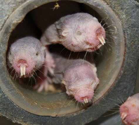 Голый землекоп— эусоциальное млекопитающее, живущее колониями сделением особей накасты