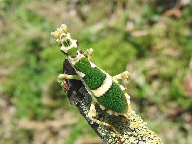 Богомолы Theopropus elegans выглядят нетак роскошно, как их орхидейные собраться, но всё равно довольно симпатично.