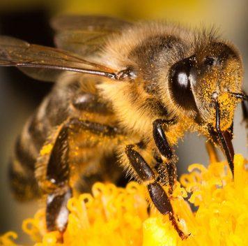 Пестициды отшибают пчёлам память