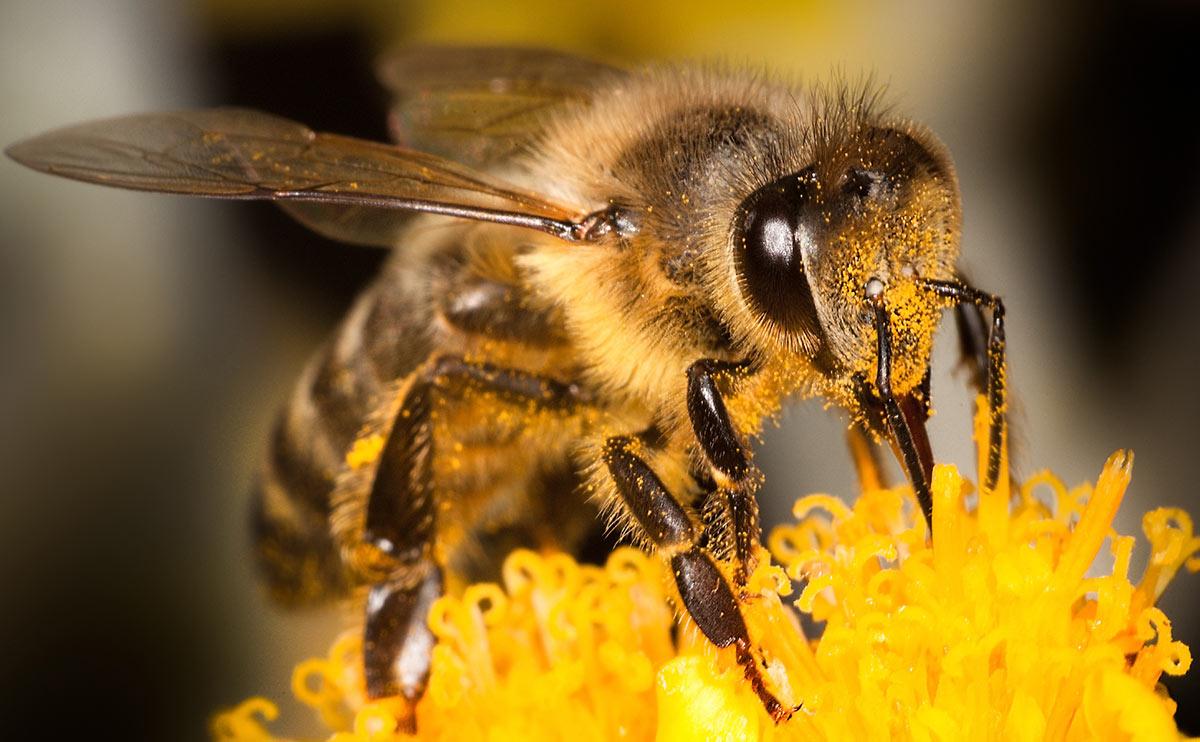 Врезультате отравления пестицидами пчёлы могут забыть, какие цветы они уже посещали.