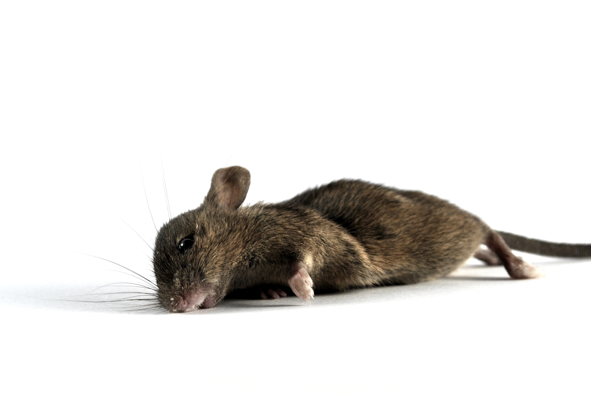 Японские учёные вкалывали мышам «конские» дозы вакцины, втысячу раз превышающие человеческие, иразрушали специальным токсином гематоэнцефалический барьер. Фактически, это был ненаучный эксперимент, аобыкновенное убийство животных.