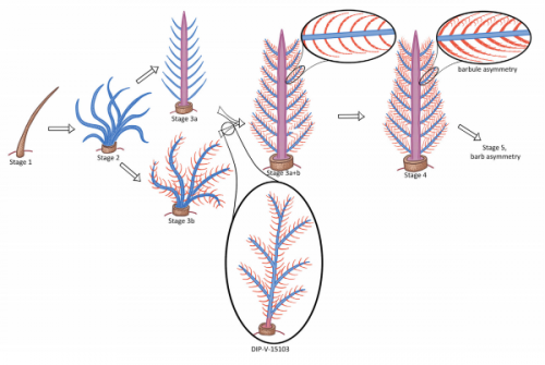 Стадии эволюционного развития перьев, новая находка— образец под именем DIP-V-15103— выделен овалом.
