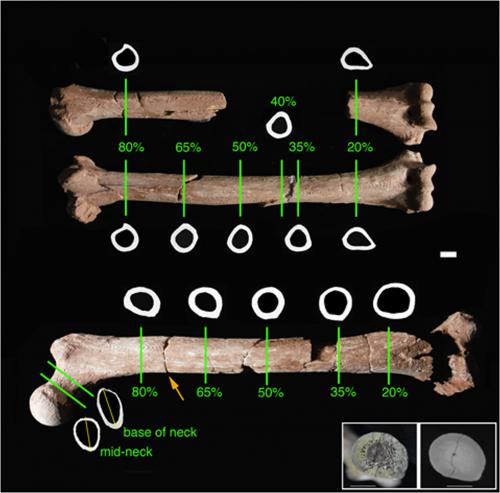 Исследовавшиеся кости австралопитечки Люси.