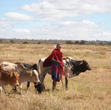 О пользе вакцинации, наэтот раз —скота