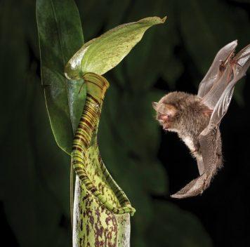 Растению выгодно быть мутуалистом летучей мыши ипитаться её фекалиями