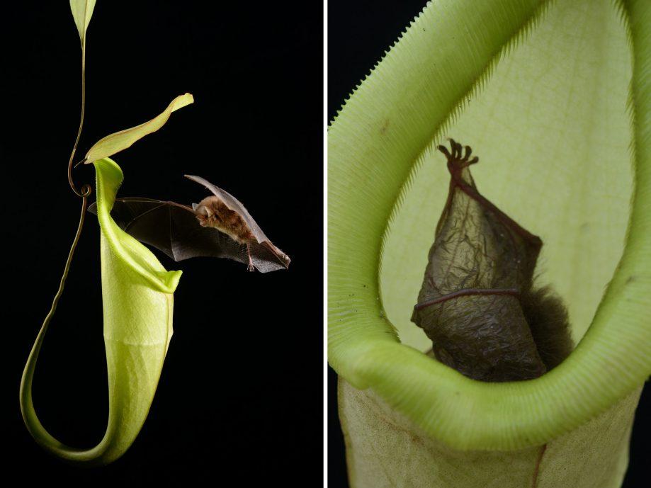 Летучая мышь Kerivoula hardwickii икувшин растения Nepenthes hemsleyana