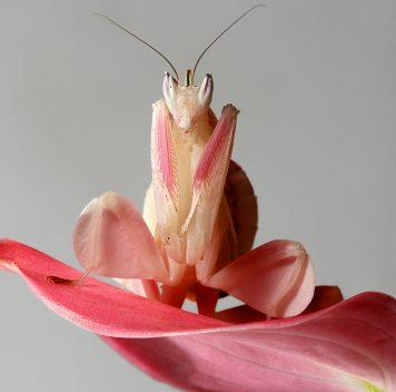 Эволюция орхидейного богомола тесно связана сохотой наопылителей