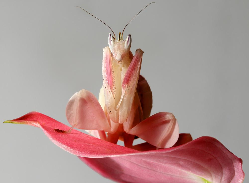 Орхидейный богомол.