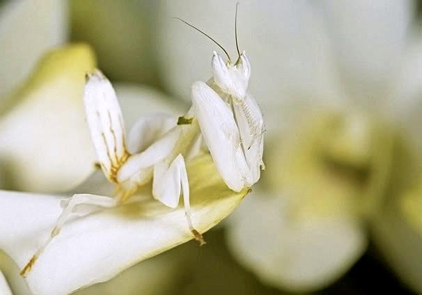 Белый орхидейный богомол.