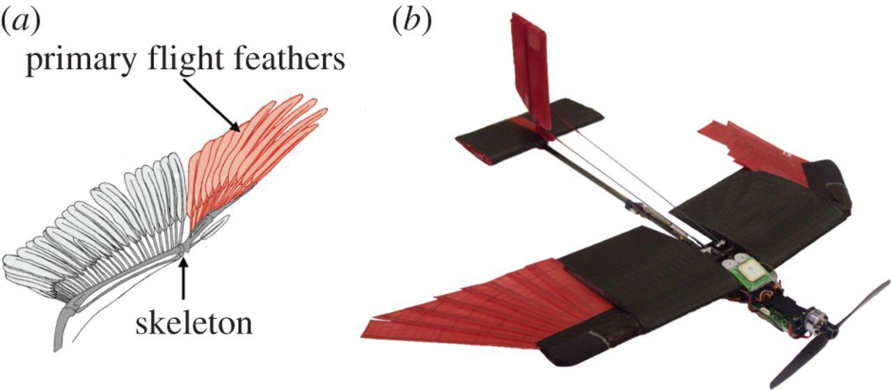 Строение крыла птицы икрыла дрона.