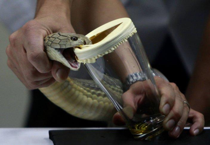 Сцеживание змеиного яда.