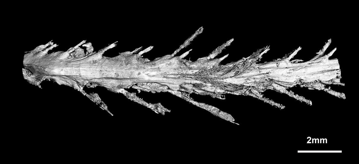 Фрагмент хвоста состоит из восьми целых позвонков.